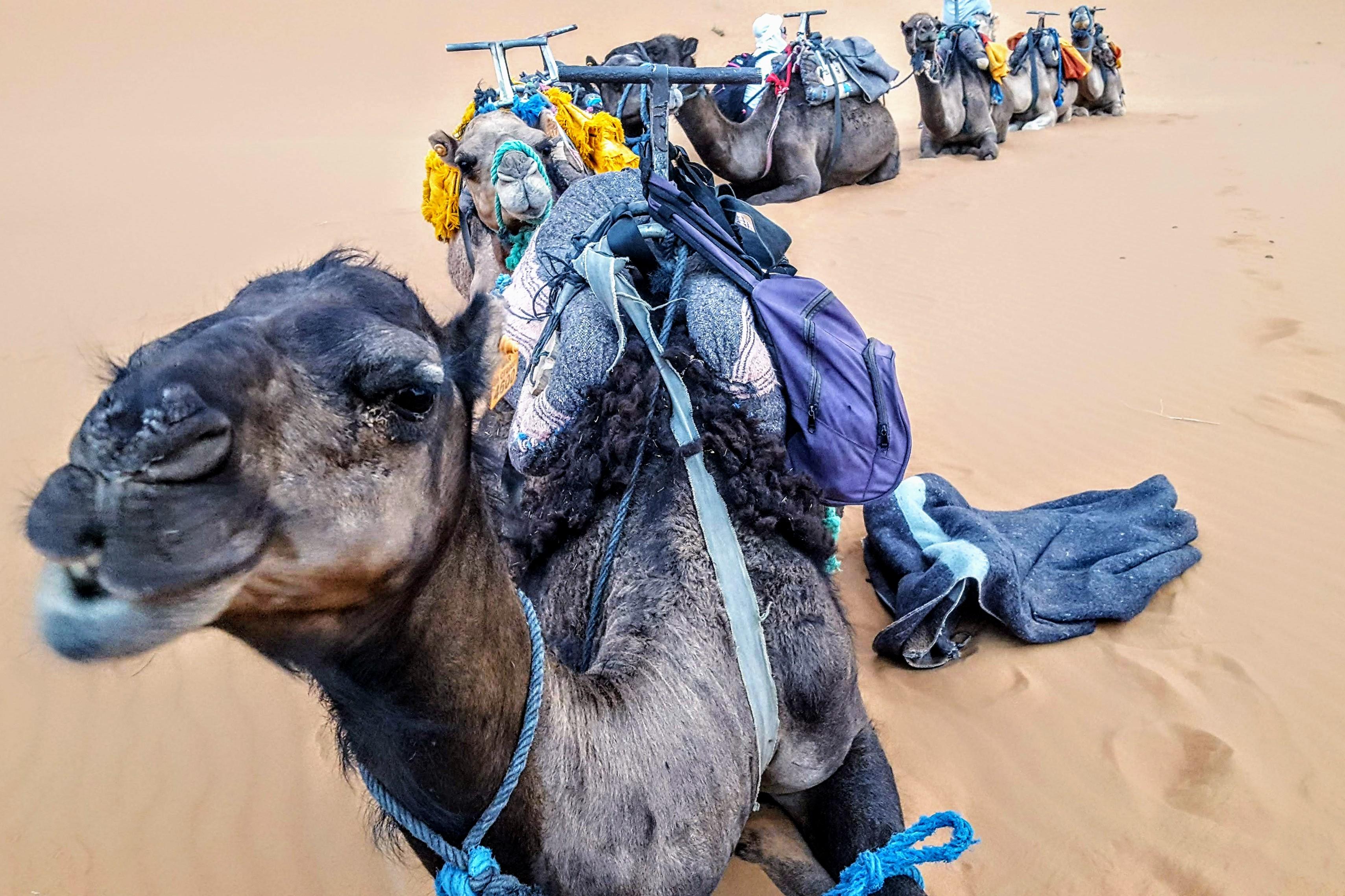 desert_camels
