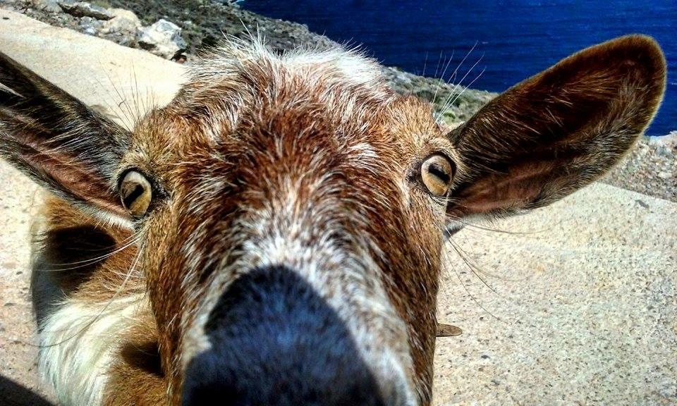 crete_goat